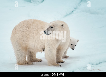 Polar Bear Mother with Cub hiding behind her, Ursus maritimus, Olgastretet Pack Ice, Spitsbergen, Svalbard Archipelago, - Stock Photo