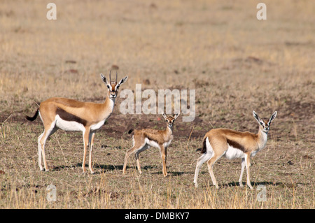 Three Thomson's Gazelles,  Eudorcas thomsonii , looking at the camera in the Masai Mara National Reserve, Kenya, - Stock Photo