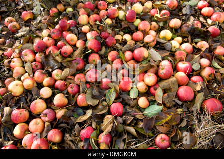 Fallen apples in orchard, Kent, UK - Stock Photo