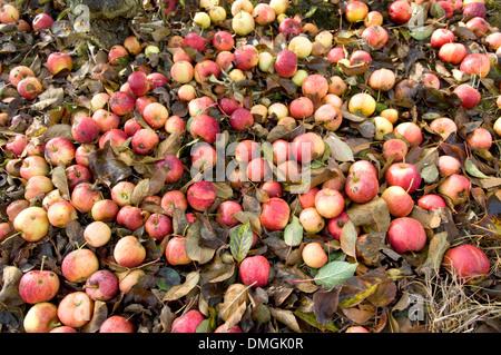 Fallen apples in orchard, Kent, UK. - Stock Photo