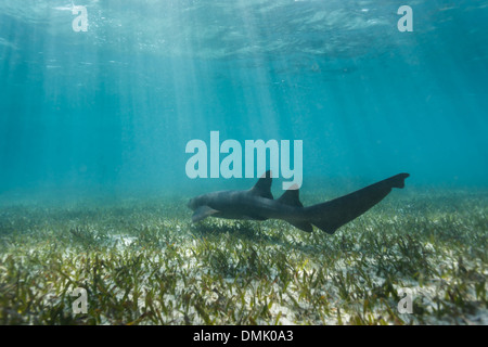 Closeup of nurse shark swimming above coral reef in Shark Alley Belize - Stock Photo