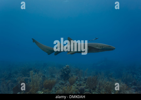 Closeup of nurse shark swimming on coral reef in Blue Hole off coast of Belize - Stock Photo