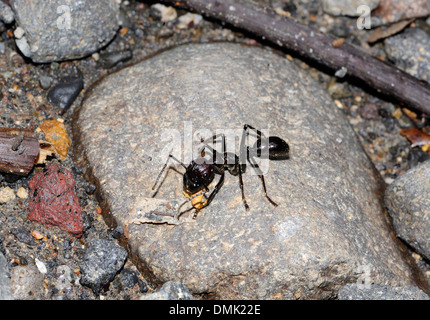 A large ant, perhaps  Paraponera clavata, locally referred to as a bullet ant because of the pain caused by its bite.