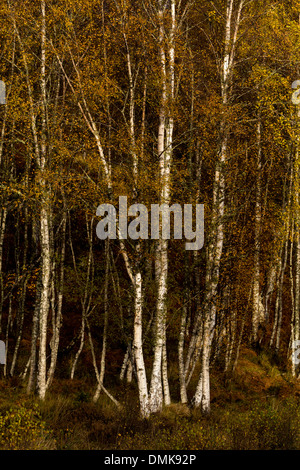SILVER BIRCH [BETULA PENDULA ] IN AUTUMN NEAR  LOCH NESS SCOTLAND - Stock Photo