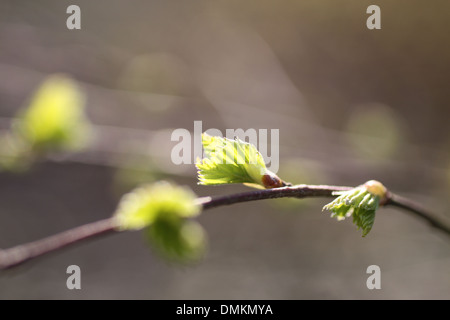 Young leaves of birch tree in spring time - Stock Photo
