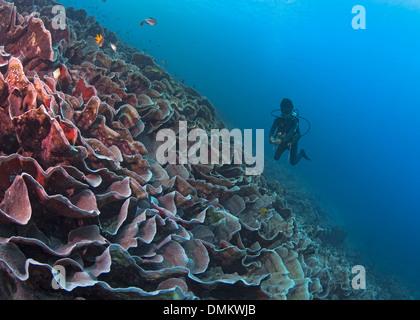 Scuba diver swims over sloping reef of unbroken plate corals (Turbinaria sp.). Bunaken Island, Indonesia. - Stock Photo