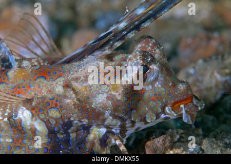 Close up image of fingered dragonet (Dactylopus dactylopus). Lembeh Straits, Indonesia. - Stock Photo