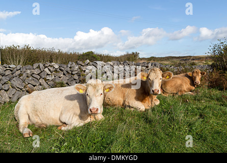 Cows lying down in field, Co. Clare, Ireland - Stock Photo