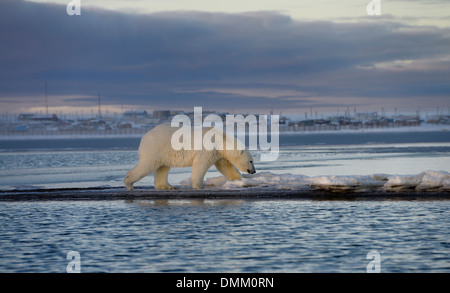 Male polar bear walking on Barter Island with Kaktovik Eskimo village Alaska USA on the Beaufort Sea Arctic Ocean - Stock Photo