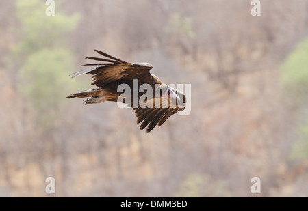 hooded vulture necrosyrtes monachus in flight - Stock Photo