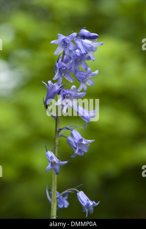 spanish bluebell, hyacinthoides hispanica - Stock Photo