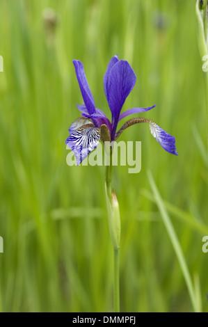 sibirian iris, iris sibirica - Stock Photo