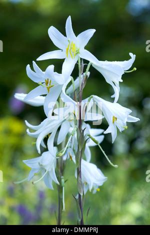 madonna lily, lilium candidum - Stock Photo