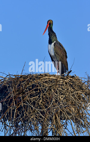 a Black Stork (Ciconia nigra) in the nest, Cicogne e anatidi center, Racconigi, Piedmont, Italy - Stock Photo