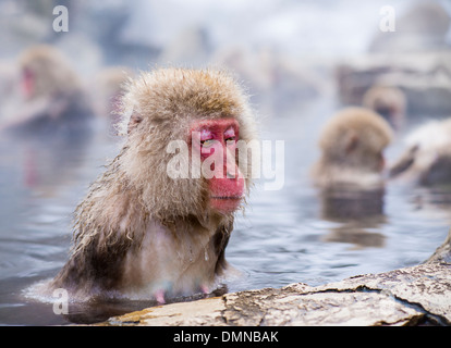 Macaques bath in hot springs in Nagano, Japan. - Stock Photo