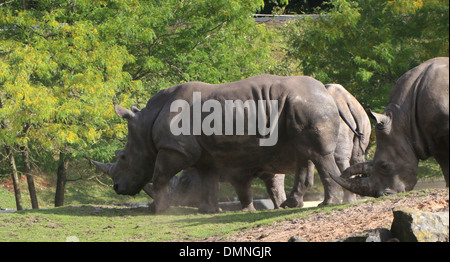 Group of Southern white rhinos (Rhinoceros Ceratotherium simum)  in a zoo setting - Stock Photo