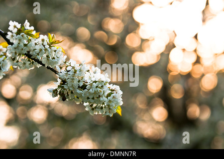 Close up of a cherry blossom in spring - Stock Photo