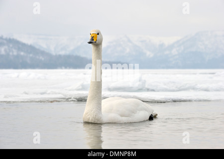 Whooper swan (Cygnus cygnus) swimming in open water at frozen Kussharo lake, Akan national park, Hokkaido, Japan. - Stock Photo