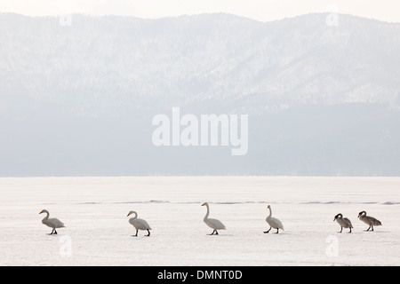Whooper swans walking in line at frozen lake. - Stock Photo