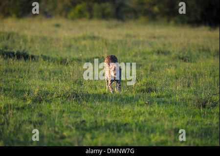 on safari in africa with the wild beasts - Stock Photo