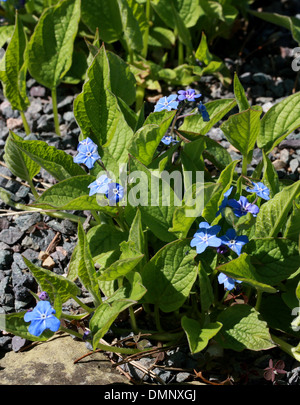 Creeping Navelwort, Blue-eyed Mary, Creeping forget-me-not, Omphalodes verna, Boraginaceae. Europe. Syn. Cynoglossum - Stock Photo
