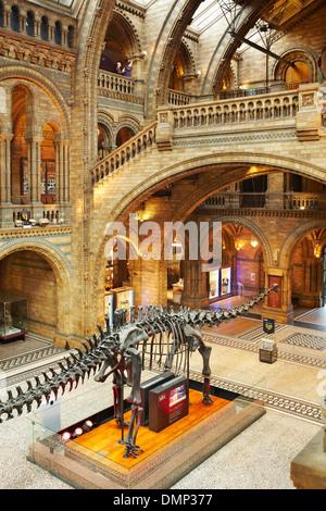 Diplodocus dinosaur at the Natural History Museum, London, England, UK - Stock Photo