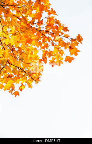 Yellow and Orange Autumn Leaves - Stock Photo