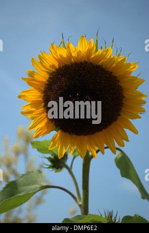 photograph of a bright yellow sunflower (Helianthus annuus), against a bright blue background. - Stock Photo