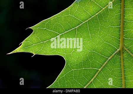 Close up of green Northern red oak / champion oak (Quercus rubra / Quercus borealis) leaf showing lobes and pattern - Stock Photo