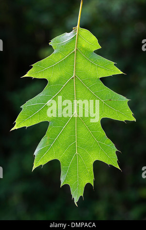 Northern red oak / champion oak (Quercus rubra / Quercus borealis) close up of leaf hanging on tree in forest - Stock Photo