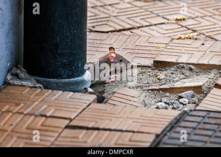 Juvenile brown rat / Common rat (Rattus norvegicus) emerging from drainpipe on pavement in city street - Stock Photo