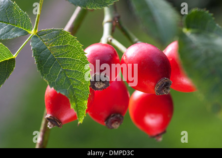 Close up of red rose hips, fruit of the dog rose plant (Rosa canina) - Stock Photo