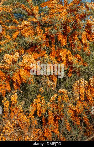 Sea Buckthorn (Hippophae) showing ripe berries Stock Photo