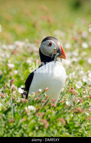 Atlantic Puffin (Fratercula arctica) on Skomer Island, West Wales, Great Britain - Stock Photo