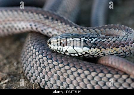 snake poisonous venomous culebra con cola larga Chile - Stock Photo