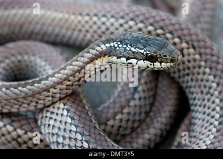 snake poisonous venomous culebra con cola larga Chile - Stock Photo
