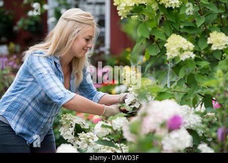 An organic flower plant nursery. A woman working. - Stock Photo