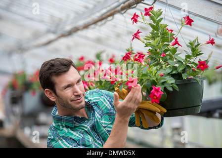 An organic flower plant nursery. A man checking  hanging baskets. - Stock Photo