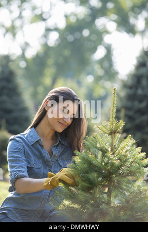 A woman pruning an organically grown christmas tree. - Stock Photo