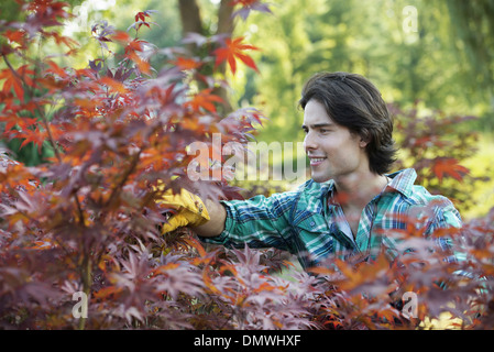 A woman in a tree nursery pruing  leaves of an acer tree. - Stock Photo