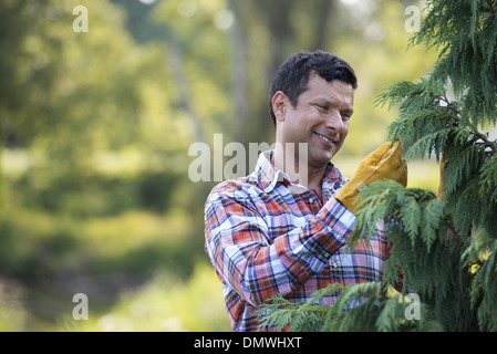 A man pruning an organically grown christmas tree. - Stock Photo
