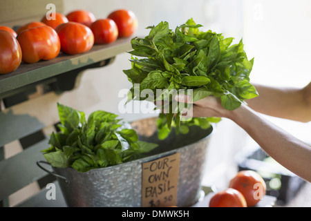An organic fruit and vegetable farm. A person holding fresh greens salad leaves. - Stock Photo