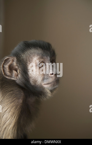 A capuchin monkey seated head and shoulders. - Stock Photo