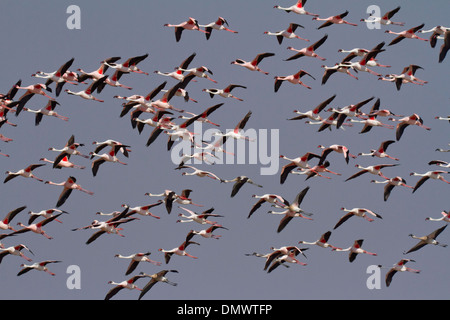 A flock of Lesser Flamingoes (Phoenicopterus minor) in flight - Stock Photo