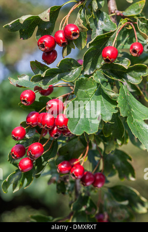 Common hawthorn / single-seeded hawthorn (Crataegus monogyna) branch with red fruit and leaves - Stock Photo