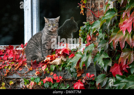 House cat sitting on windowsill among red leaves of Virginia creeper (Parthenocissus quinquefolia) - Stock Photo