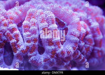 Acan Coral - Stock Photo
