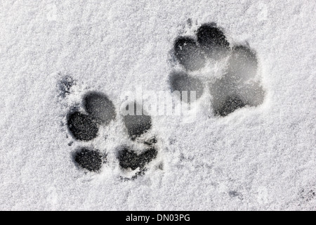 Dog footprints on snow & ice on the Arkansas RIver which runs through the downtown historic district of mountain - Stock Photo
