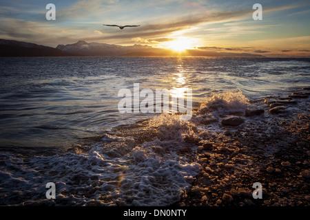 Soaring bald eagle at sunset on an Alaskan beach. - Stock Photo