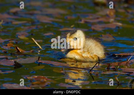 Mallard (Anas platyrhynchos) duckling on lake at Brookwood Marsh, Nanaimo, Vancouver Island, BC, Canada in May - Stock Photo